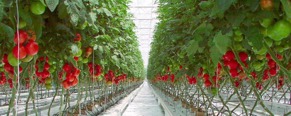 tomaten-in-kas-ontbladeren-sl